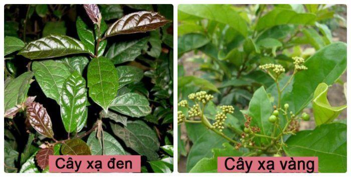 cách phân biệt cây xa đen và cây xạ vàng